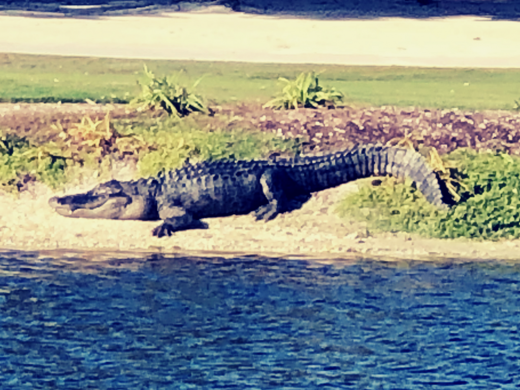 Alligator on Hole 18 At The Sanctuary Gold Course